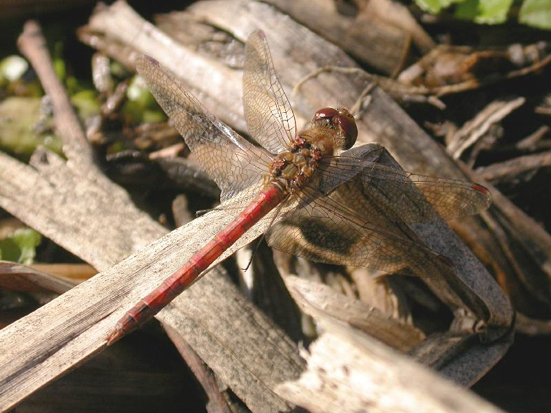 Common Darter Copyright: Malcolm Riddler