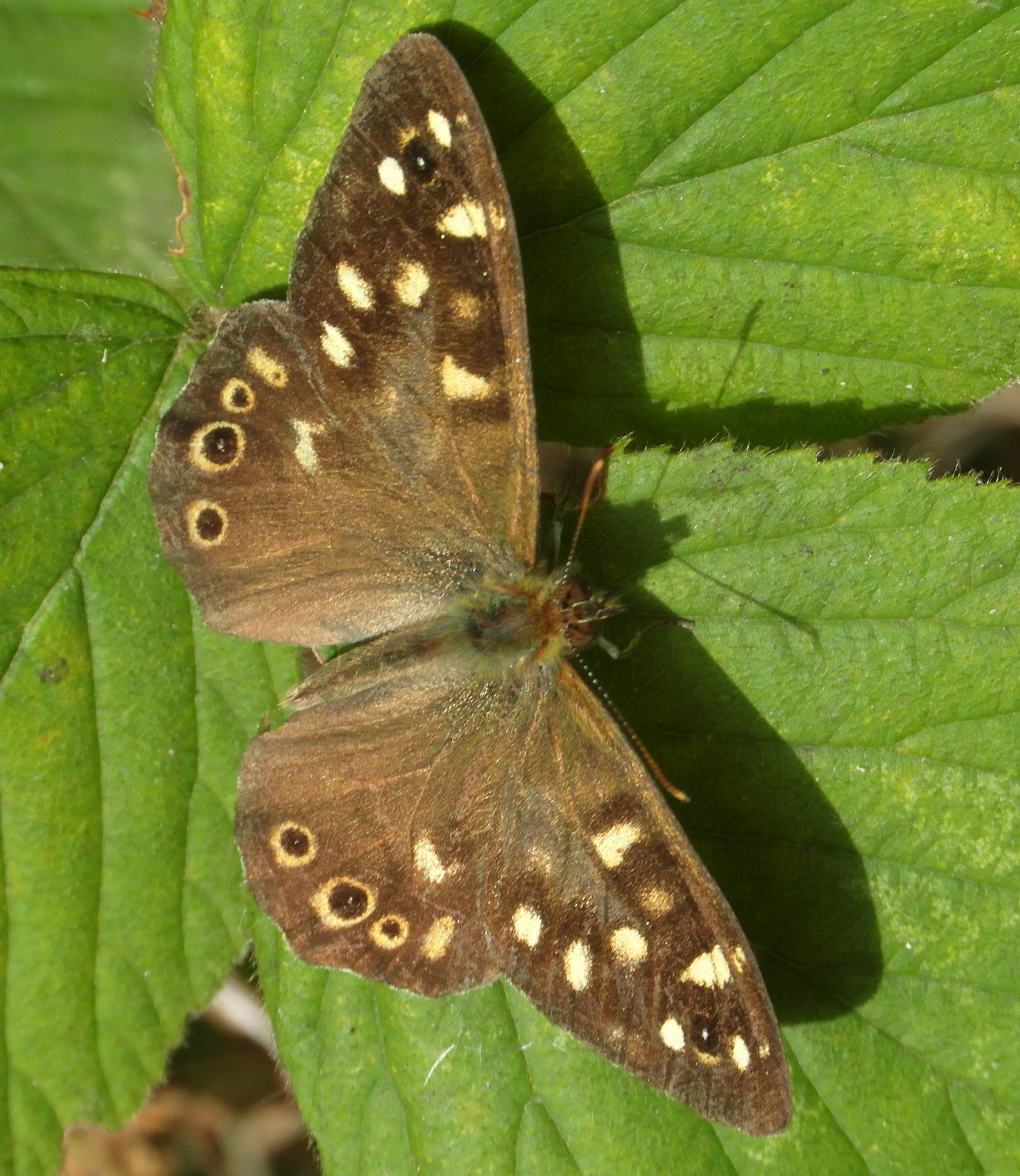Speckled Wood Butterfly - Pararge aegeria Copyright: Justin Carroll