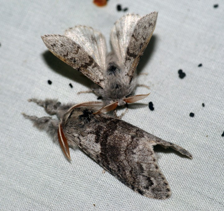 Pale Tussock 3 Copyright: Ben Sale