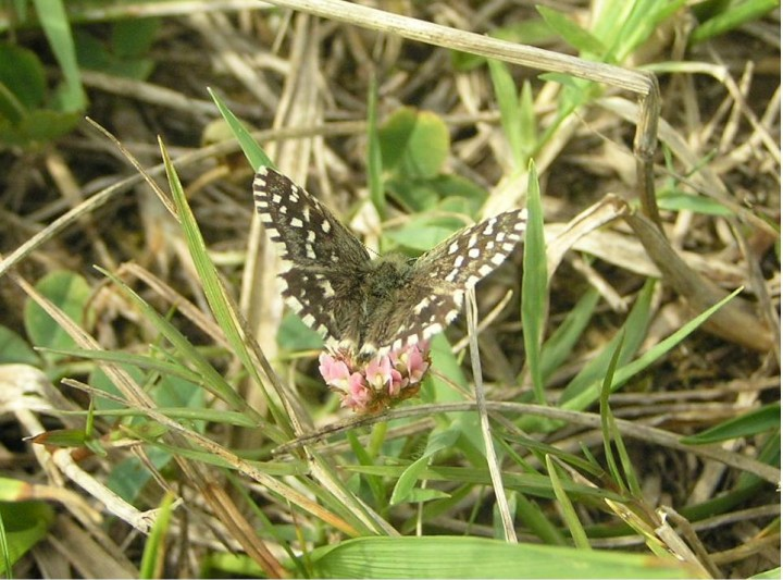 Grizzled Skipper Copyright: Ben Sale