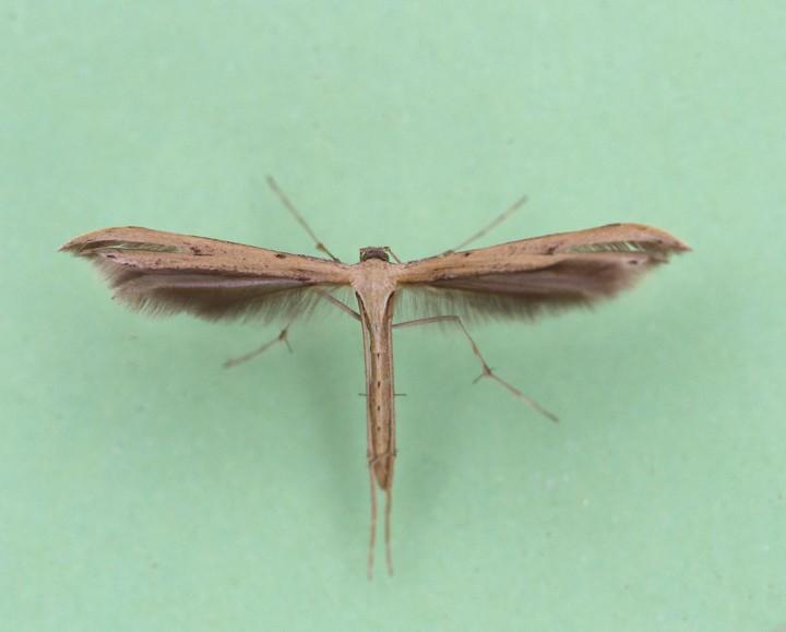 Stenoptilia pterodactyla 1 Copyright: Graham Ekins