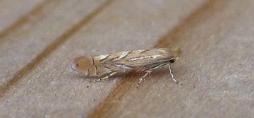 Phyllonorycter messaniella. Copyright: Stephen Rolls
