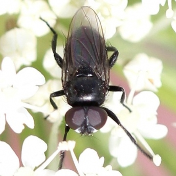 Litophasia hyalipennis (male) Copyright: Jeremy Richardson