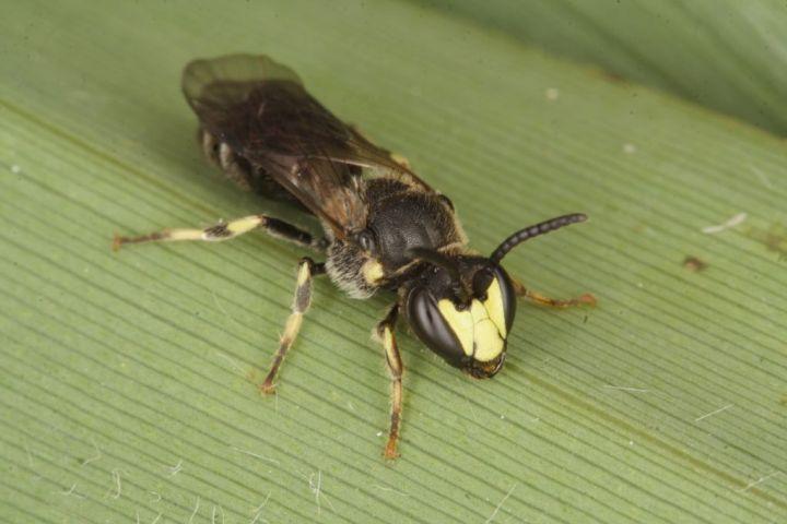 Hylaeus pectoralis male Copyright: Peter Harvey
