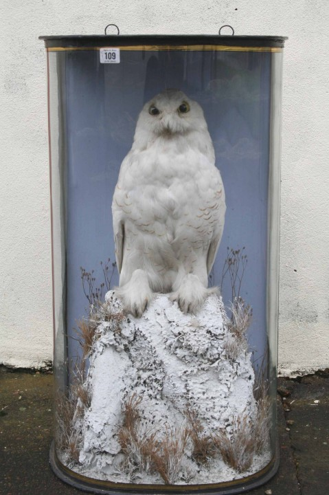 Snowy Owl Copyright: Peter Harvey