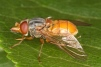 Rhingia rostrata Copyright: Peter Harvey