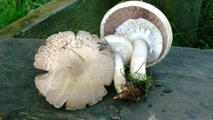 Agaricus fissuratus Copyright: Graham Smith