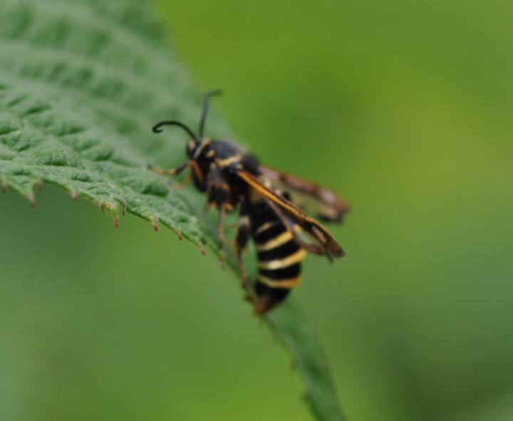 Blurry Picture of Rasberry Clearwing Moth. Copyright: Angela Craig