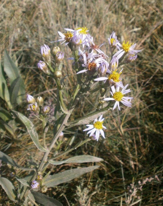 Sea Aster 1 Copyright: Tim Gardiner