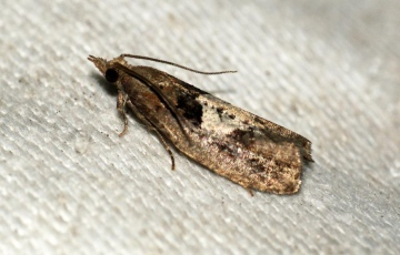 Epinotia brunnichana Copyright: Ben Sale