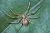 Philodromus praedatus Copyright: Peter Harvey
