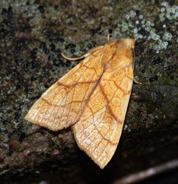 Orange Sallow 3 Copyright: Ben Sale