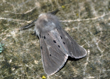 Muslin Moth 2 Copyright: Ben Sale