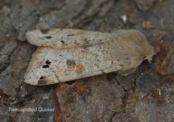 Twin-spotted Quaker  Anorthoa munda Copyright: Graham Ekins
