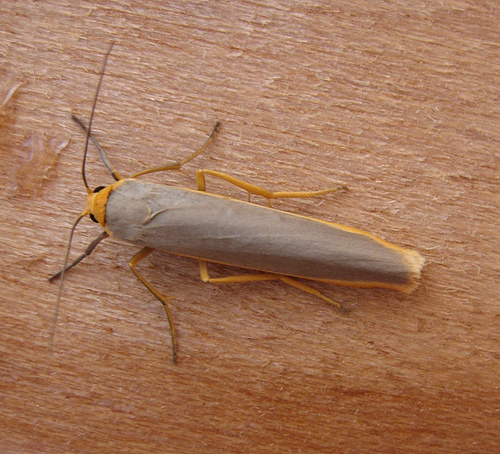 Common Footman Copyright: Stephen Rolls