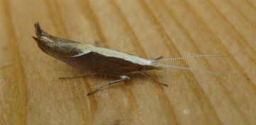 Ypsolopha dentella. Copyright: Stephen Rolls