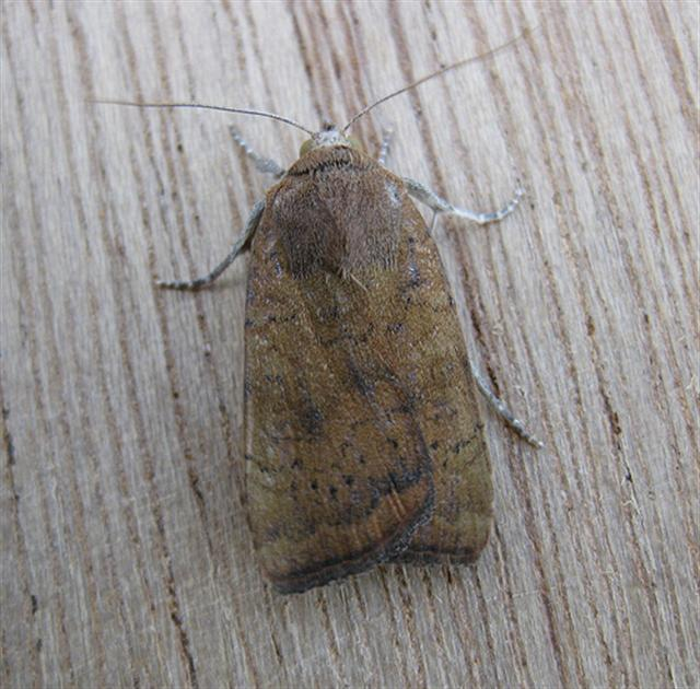 Least Yellow Underwing. Copyright: Stephen Rolls