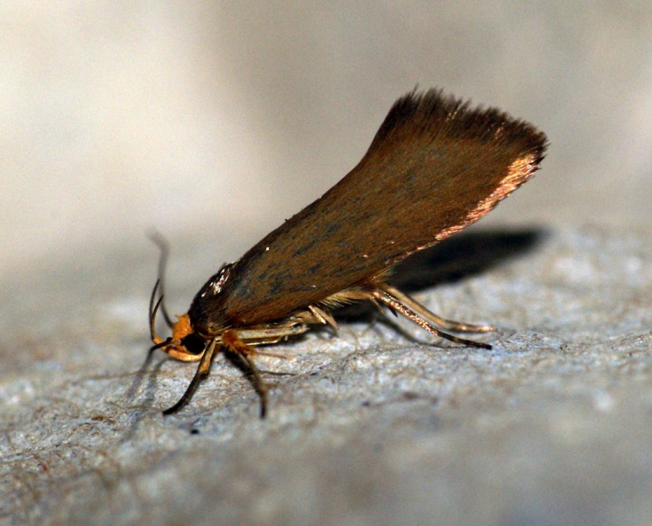 Batia unitella Copyright: Ben Sale