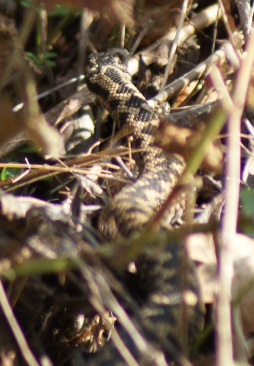 Jermaines Wood - Adder Copyright: Robert Smith