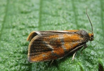 Ptycholoma lecheana 2 Copyright: Stephen Rolls
