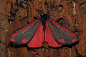 Cinnabar 2 Copyright: Ben Sale
