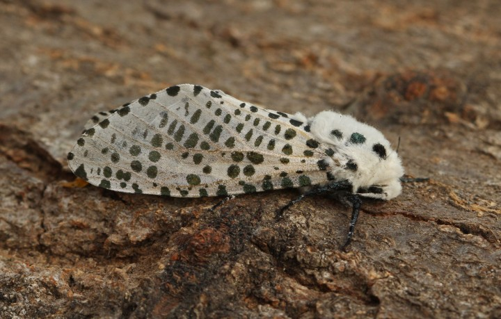 Leopard Moth 5 Copyright: Graham Ekins