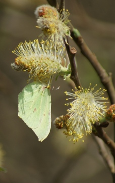female Brimstone Sallow Copyright: Robert Smith