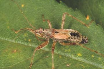 Himacerus apterus Copyright: Peter Harvey
