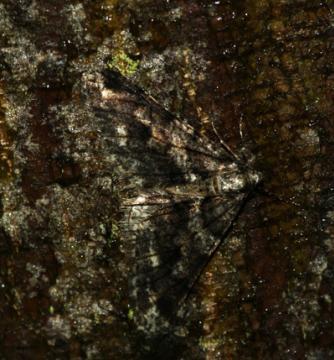 Agriopis leucophaearia (Spring Usher) 3
