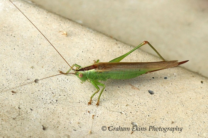 Conocephalus discolor (Long-winged Conehead female) Copyright: Graham Ekins