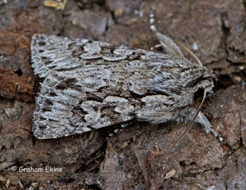 Early Grey  Xylocampa areola Copyright: Graham Ekins