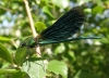 Beautiful demoiselle male Copyright: Sue Grayston