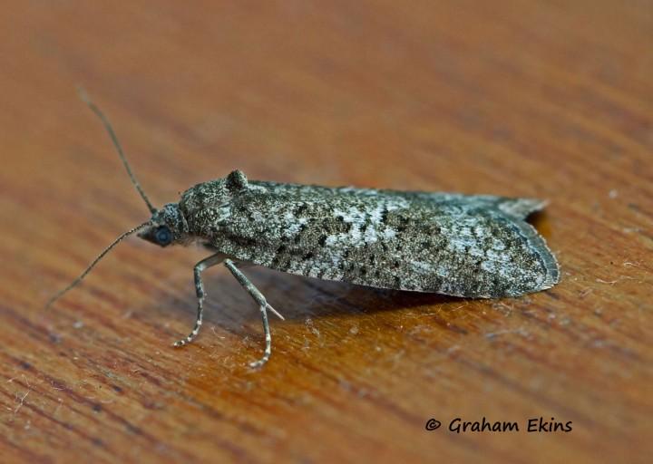 Cnephasia communana  2 Copyright: Graham Ekins