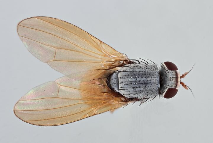 Minettia lupulina dorsal Copyright: Jeremy Richardson