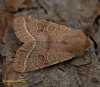 Common Quaker  Orthosia cerasi Copyright: Graham Ekins