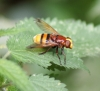 Volucella z. Copyright: Robert Smith
