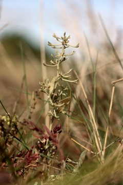 Atriplex pedunculata Copyright: Paul Fletcher