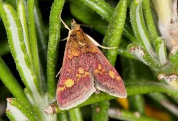 Pyrausta purpuralis Copyright: Peter Harvey