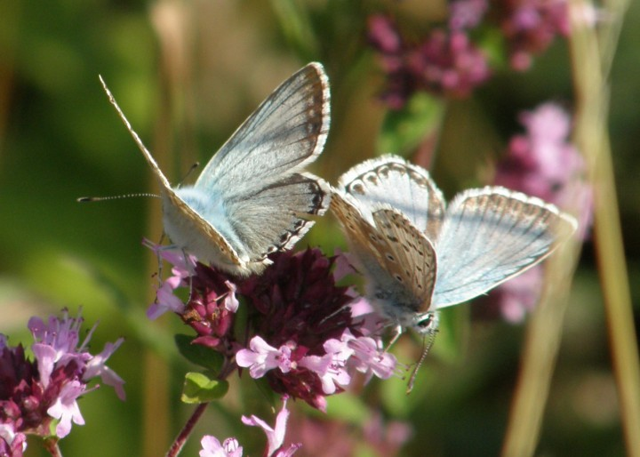 Chalk-hill blue males Copyright: Sue Grayston