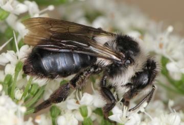Andrena cineraria female Copyright: Peter Harvey