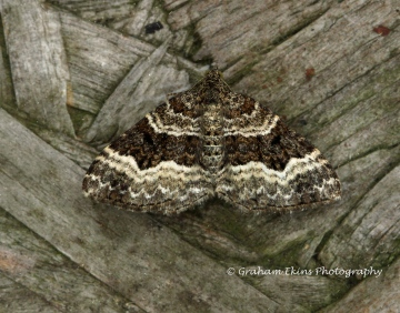 Epirrhoe alternata  Common Carpet Copyright: Graham Ekins