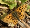 Pearl-bordered Fritillary Copyright: Robert Smith