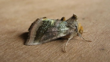 Burnished Brass Copyright: Stephen Rolls