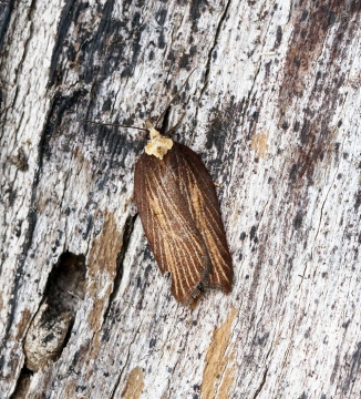 Acleris hastiana 4 Copyright: Ben Sale