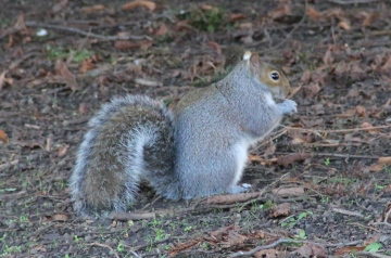 Grey Squirrel Copyright: Peter Harvey