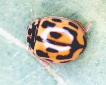14 spot ladybird Copyright: Paul Mabbott