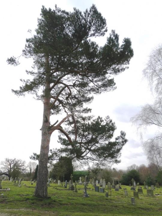 Scots Pine Copyright: Graham Smith
