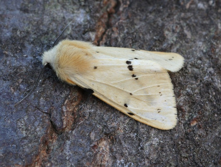 Buff Ermine 5 Copyright: Graham Ekins