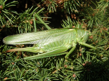 Great green bush cricket Copyright: Sue Grayston