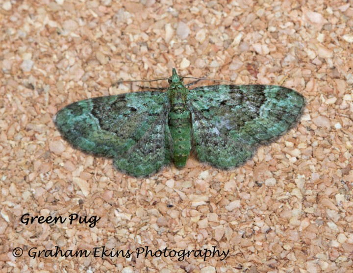 Green Pug  Pasiphila rectangulata Copyright: Graham Ekins